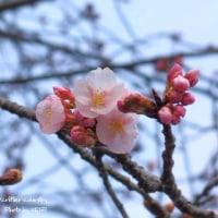 2017 開花宣言 in IWAKI
