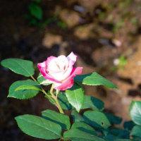 陽当たりのバラ
