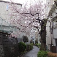 森厳寺川緑道(暗渠?)の桜 2017