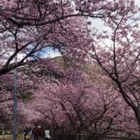 河津桜2017♪♪♪
