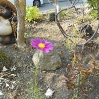 ガランとして侘しい秋の庭に、たった一輪残った「コスモス」