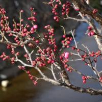 梅一輪 もうすぐ春です!