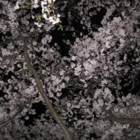 4月11日の桜