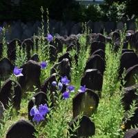 元興寺に咲く花 桔梗、ハルシャギク等