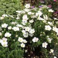 花だより・・・。『セダム、アルメリア、ブラキカム、アレナリア』