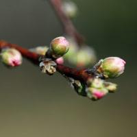 花桃の蕾。
