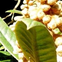 ミツバチとビワの花
