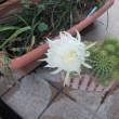 3本目のサボテンの花が咲きました