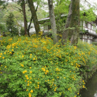 山吹と庭園「松風苑」~松尾大社