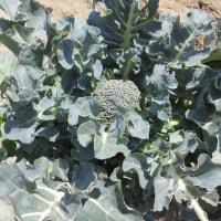 菜園の春野菜