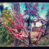 お庭の梅がほころんで
