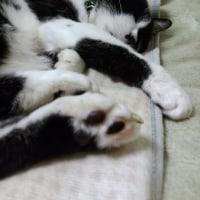 寝ぼける兄猫