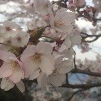 黄金山の桜は満開です。