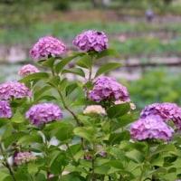 スイレンと紫陽花