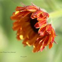 種蒔き苗 ストック ベイビー・レインボーの花芽発見  。。。備忘録