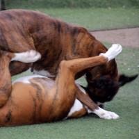 ワン子相撲・Boxer play