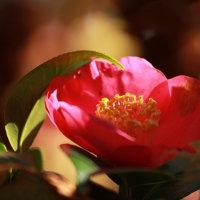 庭の花 侘助椿