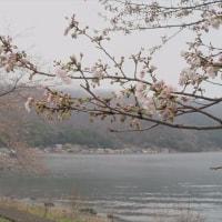 菅浦の淡桜