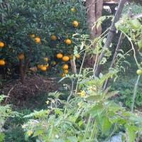 ミニトマト、いつまで収穫できる!?