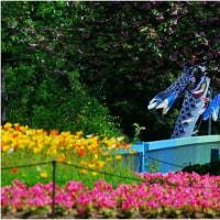 喋も舞いはじめリンゴの花満開 長居公園・大阪市)。 4・26