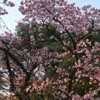 カンザクラが咲いています。