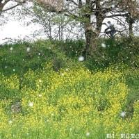 桜の雪降る