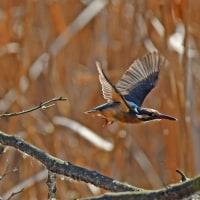 カワセミ♀の捕食・ダイブ・飛翔シーンを・・・