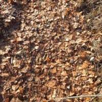 銀杏の葉を敷く