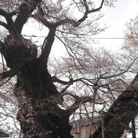 ★伊那谷の桜(4)【箕輪町中曽根の権現桜】2017