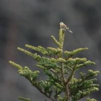 モミの樹にアトリとイカル