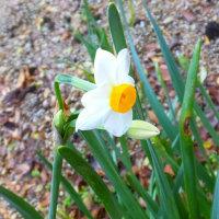 水仙開花、ライオンの耳の花