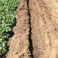 里芋の植え付けは今回の子芋でチャレンジ&実験☆