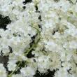 珍珠梅(チンシバイ)の花