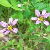 季節の花「庭石菖 (にわぜきしょう」