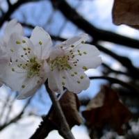 桜ん坊の花咲く