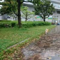 朝散歩は雨