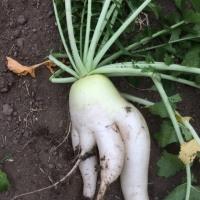 変な野菜色々