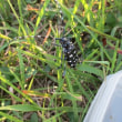 ゴマダラカマキリ虫に驚いた二日間の物語