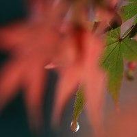 雨の日の紅葉  (Vol.1398)