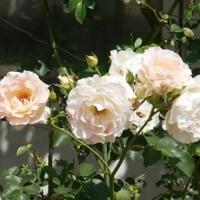 公園のバラが次々と開花して