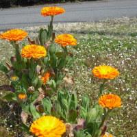 とても目立ちます キンセンカの花