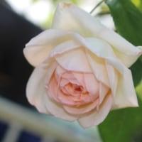 薔薇の不思議な色合いに驚く
