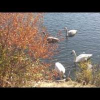 池に白鳥が来ました
