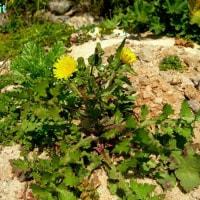 ソンクス・オレラケウス  Sonchus oleraceus