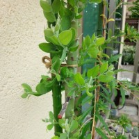 夏の花*風蝶草(クレオメ)とヒマワリの種まき