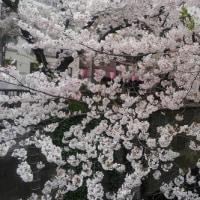 『花見』  目黒川2017