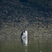 オオタカ成鳥の水浴び