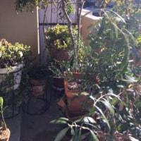 春に向けてベランダグリーンの用土替え