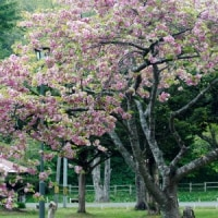 長万部公園1)八重桜