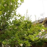今年も夏ツバキの花満開の季節到来